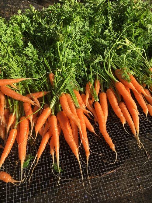 FrankFarm_Carrots